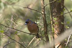 Male chaffinch. On the Kemper heide, Netherlands Royalty Free Stock Images