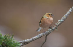 Male Chaffinch Stock Photos