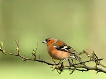 Free Male Chaffinch Royalty Free Stock Images - 457949