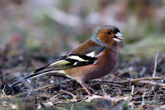 The Male Chaffinch royalty free stock photo