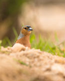 A male Chaffinch behind rocks Royalty Free Stock Photo
