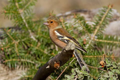 Male Chaffinch on the Branch Royalty Free Stock Image
