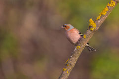 Male Chaffinch on branch covered with lichen Stock Images