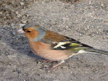 Male Chaffinch. A male chaffinch with brightly coloured feathers standing on the ground Royalty Free Stock Photography