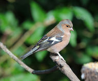 Male chaffinch Stock Images