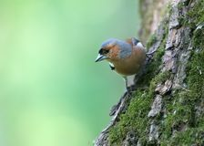 Male chaffinch close-up. royalty free stock photo