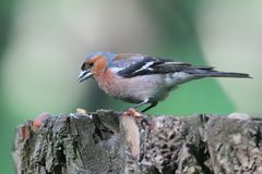 Male chaffinch close-up. Stock Photo