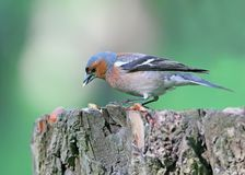 Male chaffinch close-up. Royalty Free Stock Image