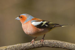 Male chaffinch closeup. Closeup photo of male chaffinch (Fringilla coelebs) in spring forest stock image