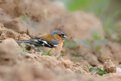 Male Chaffinch feeding on the ground Stock Image