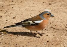 Male Chaffinch feeding on the ground. Stock Image