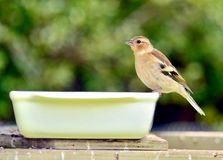 Male chaffinch at feeding time. royalty free stock photo