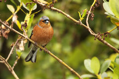 Male Chaffinch In Forest Royalty Free Stock Images