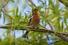 A male Chaffinch on a forest perch in New Zealand. Royalty Free Stock Photo