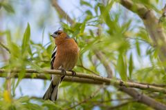A male Chaffinch on a forest perch in New Zealand. Royalty Free Stock Photos