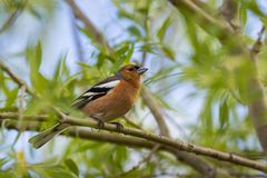 A male Chaffinch on a forest perch in New Zealand. Stock Image