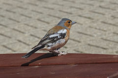 Male Chaffinch (Fringilla coelebs) Royalty Free Stock Image