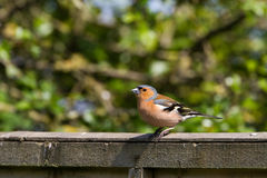 Male Chaffinch Fringilla coelebs perched on garden fence. Looking left Stock Photo