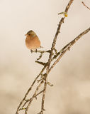 Male Chaffinch on branch Royalty Free Stock Photo