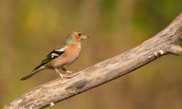 Male Chaffinch Stock Photo