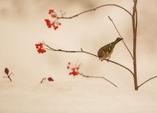 Male Chaffinch on Rowan tree Royalty Free Stock Images
