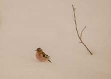 Chaffinch with twig on snow Royalty Free Stock Photo