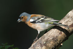 A male Chaffinch Fringilla coelebs. Royalty Free Stock Image