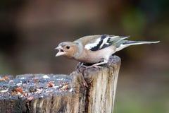 Male Chaffinch (Fringilla coelebs) Stock Photo