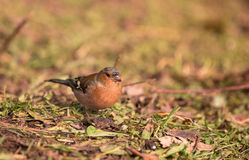 Male Chaffinch on the ground Royalty Free Stock Images