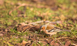Male Chaffinch on the ground Royalty Free Stock Photos