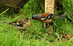 A male chaffinch and his young Royalty Free Stock Photography