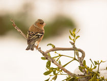 Male Chaffinch on myrtle plant. A male Chaffinch (Fringilla coelebs) perches on a Myrtle plant stock photos