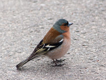 Male chaffinch in park on the asphalt road stock images