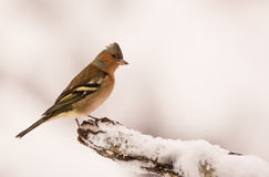 Male Chaffinch with snow Stock Image