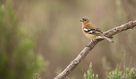 Male Chaffinch perched on a branch Royalty Free Stock Image