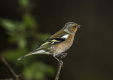 A Male Chaffinch Royalty Free Stock Photos