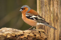 Male Chaffinch. A portrait of a male Chaffinch on a textured perch in New Zealand Stock Photography