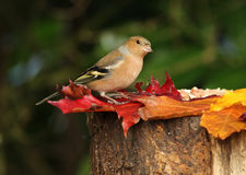 Male Chaffinch Stock Image