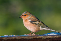 Male chaffinch portrait Stock Photo