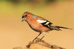 Male Chaffinch sitting on a stump. Songbird, forest bird Royalty Free Stock Photography