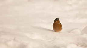 Male Chaffinch on snow Stock Photos