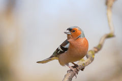 Male chaffinch in spring forest. Male chaffinch (Fringilla coelebs) perched on a twig in a spring forest Stock Image