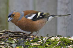 Male Chaffinch. On Stone Wall Stock Image