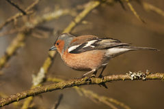 Male chaffinch about to take off from a twig Royalty Free Stock Images