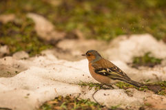 Male Chaffinch under the rain Royalty Free Stock Photography