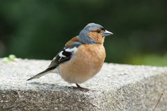 Male chaffinch on a wall. A young male chaffinch on a garden wall royalty free stock photos