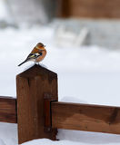Male chaffinch in a winter and cold background Stock Images