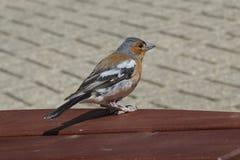 Male Chaffinch (Fringilla coelebs) Royalty Free Stock Image