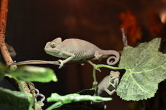 Male chameleon on a tree Stock Images