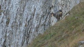 Male chamois in front of a cliff. stock footage